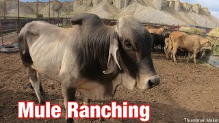 Chasing Brahman Cows On Mules; Mule Ranching Vlog #4