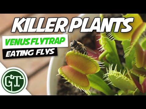Venus Fly Trap Eats Fly
