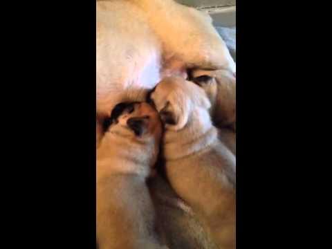 keetarose pug puppies feed time 3 weeks old