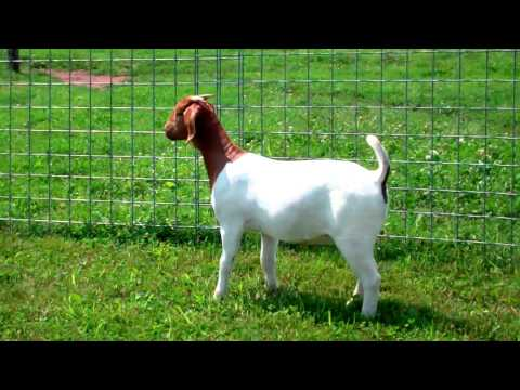 MAX Boer Goats I'VE GOT THE SPOT ~ RUGER & MAKERS MARK G-daughter ~ SOLD