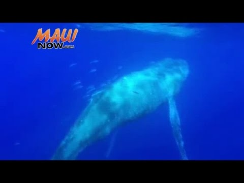 VIDEO: Emaciated Humpback Whale Makes Premature Appearance, Tailed by Tiger Shark