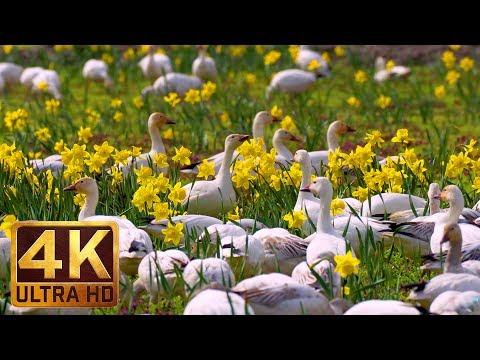 4K Wildlife/Birds Video - 3.5 Hours Sounds of Snow Geese | Skagit Valley Snow Geese. Part 2