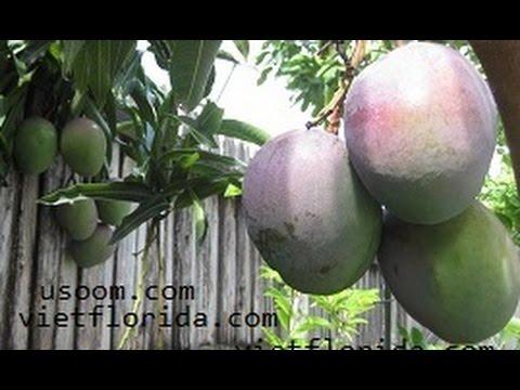 Fruit Tree: Mango (CAY AN TRAI: XOAI) - Tommy Atkins Mango