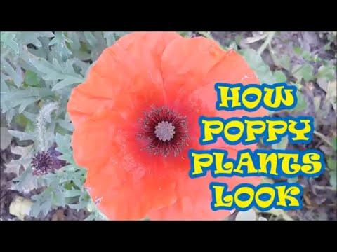 HOW POPPY PLANT LOOKS