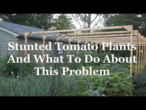 Stunted Tomato Plants And What To Do About These Vegetable Garden Plants