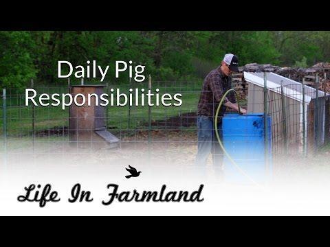 Day to day activities of raising backyard pigs