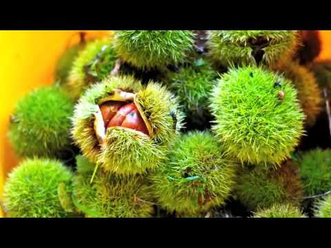 Hokkaido Chestnut Picking