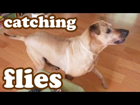 Get Them Flies - Dog Busy Chasing Fly Insect - Pest Bug Bugging The Pet - Jazevox Animal Dogs Videos