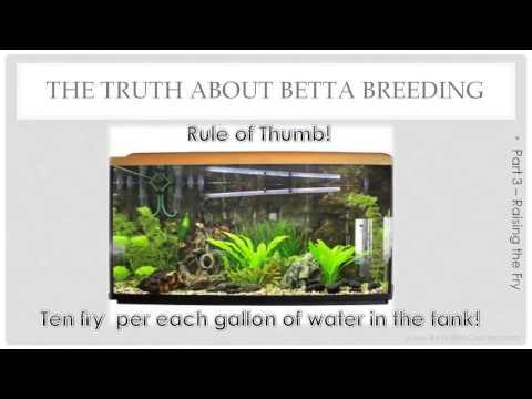 Raising Betta Fry - Truth About Betta Breeding - Part 3