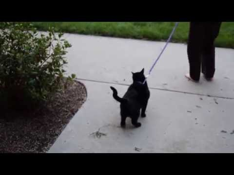 Training Cat To Walk On A Leash
