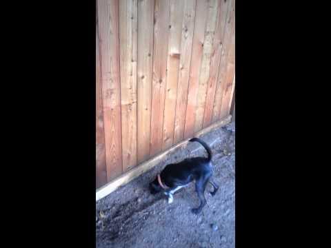 Neighbor's dog hitting fence 8-18-2014