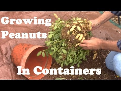 Peanuts Grown in a Container From Planting to Harvest. And Some of What I Learned.