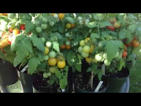 6 inch Micro Dwarf Tomato Plants Loaded With Maters! For Indoor Growing Too!