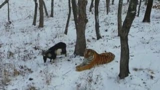 Brave goat becomes friends with a tiger who was supposed to eat him