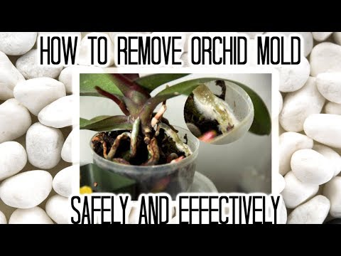 How to remove orchid mold