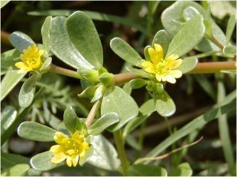Purslane- One Of The Best Weeds You Will Eat