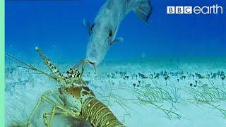 Download Lobsters Vs Trigger Fish | Trials Of Life | BBC Earth Video