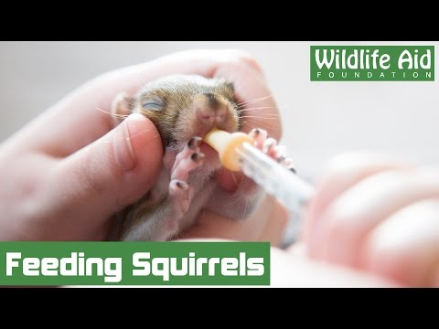 Tiny baby squirrels at Wildlife Aid