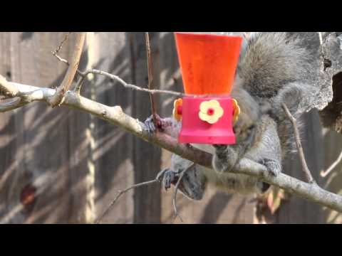 Squirrel at hummingbird feeder.