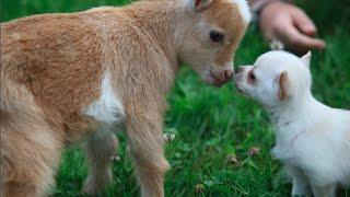 Chihuahua Puppy thinks she