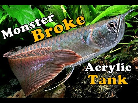 Silver Arowana Broke It's Acrylic Tank - A Learning Content.