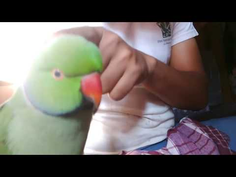 Indian Ringneck parrot training to talk must watch.