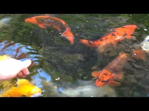 How to Hand Tame your Koi / Hand feeding my Koi fish