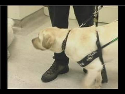 Guide Dog Training : Guide Dog Training: Best Breeds