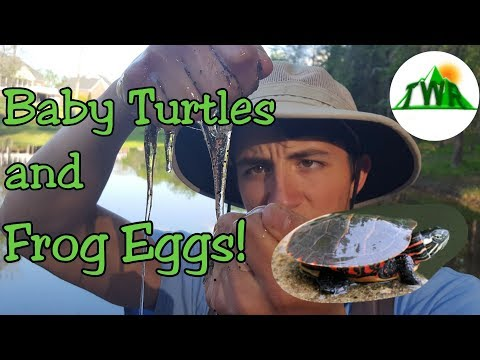Summer Pond Exploring: Baby Turtles and Frog Eggs!