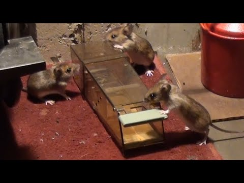 How to catch wild mice for release later using a humane mouse trap
