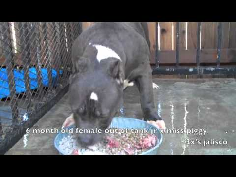 how to feed your new blueline american bully.