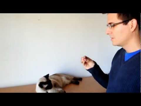 How to train your Cat... (with Faraon the Siamese) 猫にトリック教えるのはどうやるの?