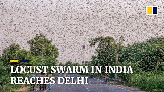Locusts invade outskirts of India's capital New Delhi