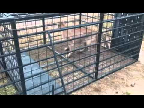 Rancho El Gato mountain lion trap