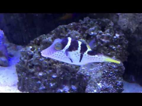 My new Valentini puffer fish release