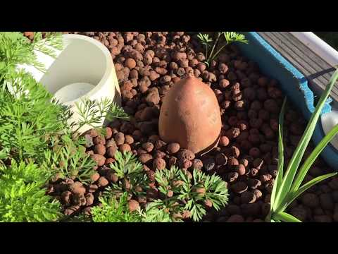 Growing Sweet Potatoes 1
