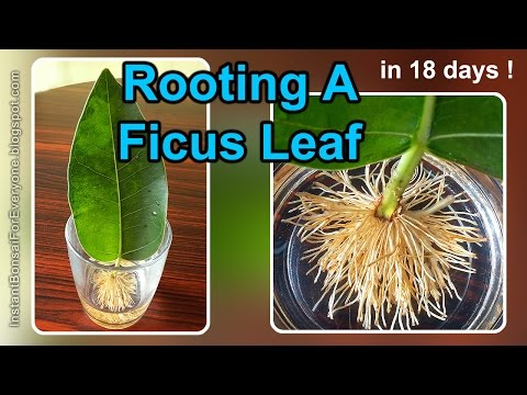 Rooting A Ficus Leaf Cutting In 18 Days - 1/2 (read description also)