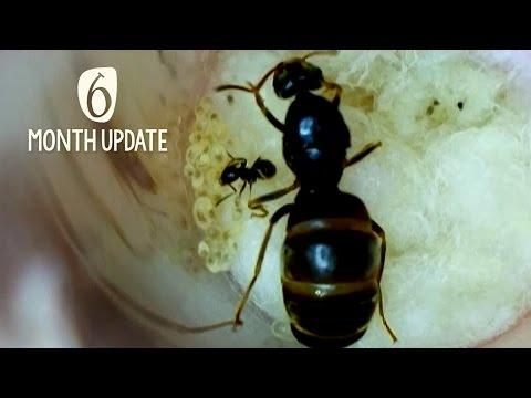 6 Month Queen Ant Update!