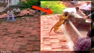 Man JUMPS From Roof to Escape LEOPARD ATTACK   What