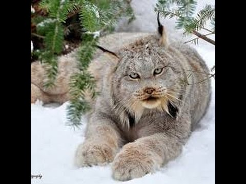 Lynx as a Totem: Your Personal Power Animal's Personality Characteristics and Life-Path Lessons