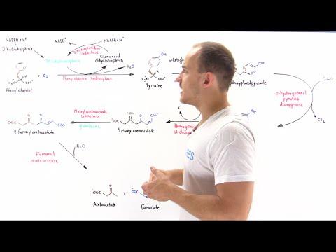Metabolism of phenylalanine and tyrosine