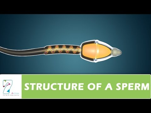 STRUCTURE OF A SPERM