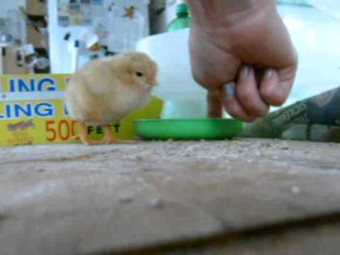 How to make a baby chick eat