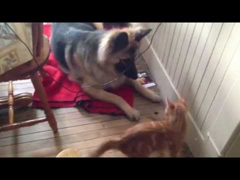 Crazy new kitten will not leave our german shepherd alone!!!!!
