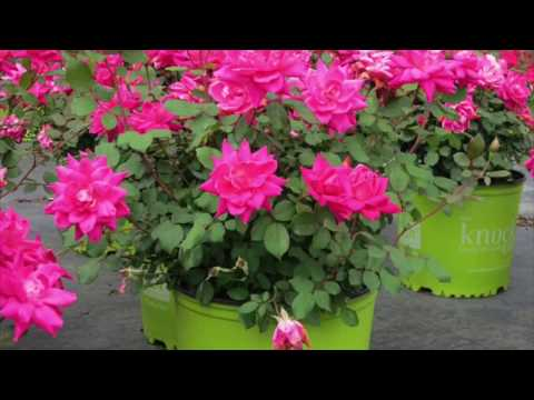 LEARN HOW TO CARE FOR A KNOCKOUT ROSE IN A CONTAINER GARDEN - BY HAPPY TWIRL