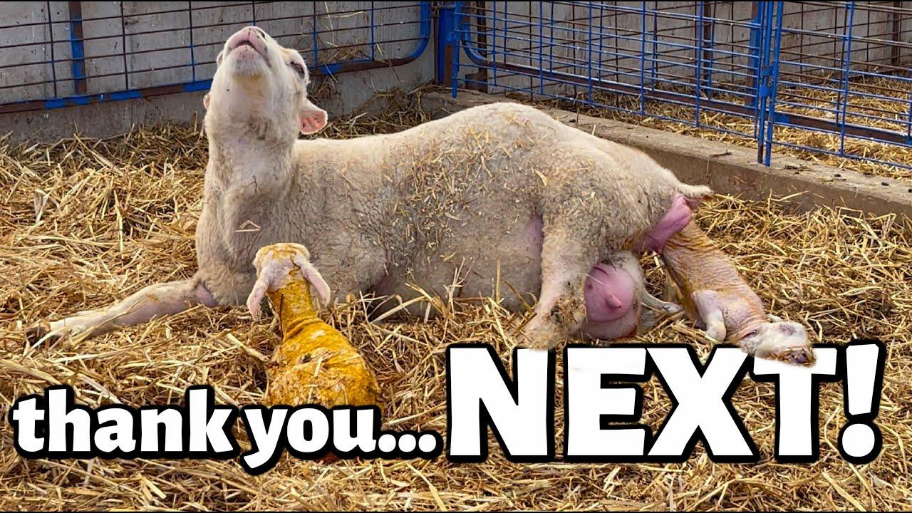 thank you, NEXT.😳 | LAMBS EVERYWHERE!!!😬 | Summer Lambing 2021 | Vlog 460