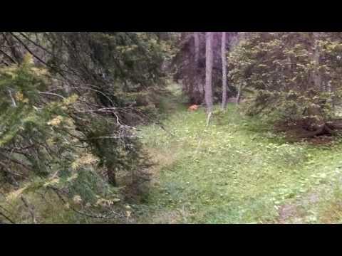 Roe deer in Alps