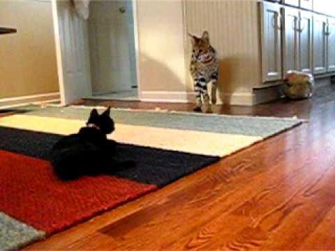 Serval Cat vs. Domestic Cat