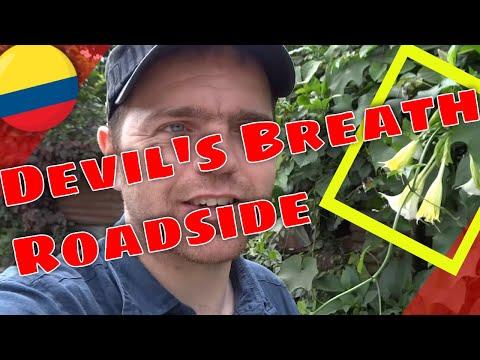Roadside Devil's Breath (Scopolamine) from Angel's Trumpets (Brugmansia)