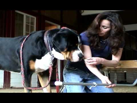 Funny Video - Greater Swiss Mountain Dog Cart - Cesar Millan Dog Whisperer Audition